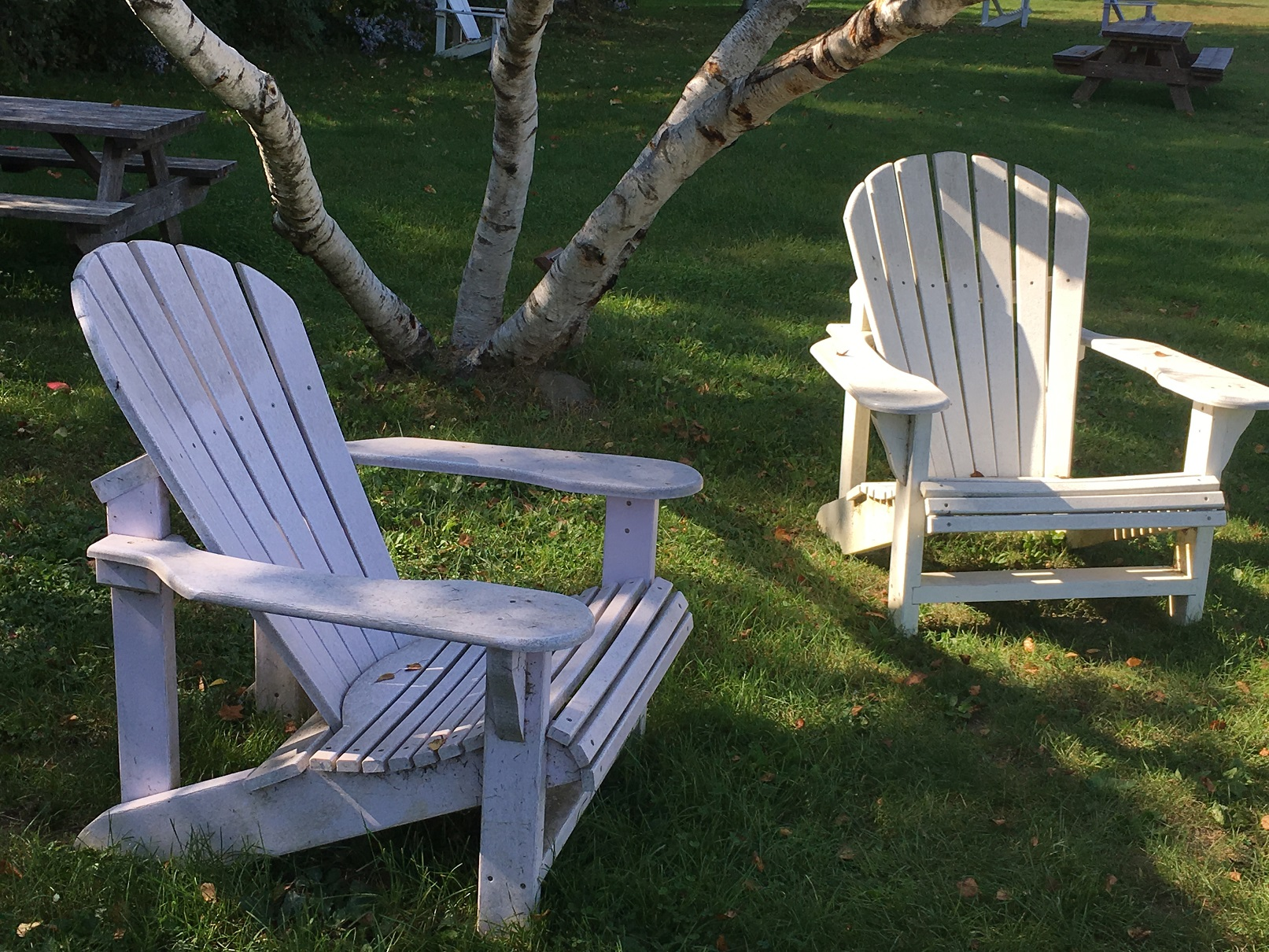 Outdoor office set up with two Adirondack chairs set near a group of White Birch